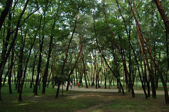 곧게 솟은 소나무숲이 그 웅장함을 드러내고 있습니다.
