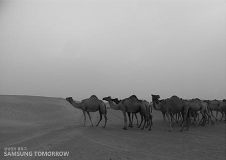 사막에 줄지어 서있는 낙타들