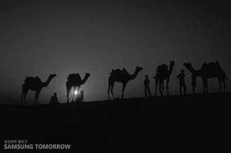 사막의 낙타들