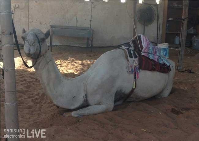 앉아있는 하얀색 아랍의 낙타