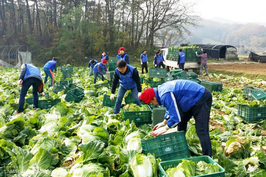 온양사업장 임직원들이 배추밭에서 직접 배추를 수확하고 있는 모습입니다.