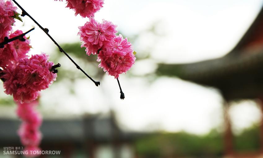 창경궁 한편에 활짝 핀 겹벚꽃(F값 2.0)