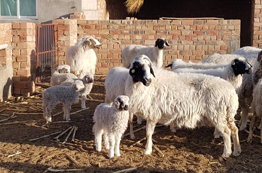 천츠화씨의 부모님 들이 키우는 고향 옌츠 마을의양