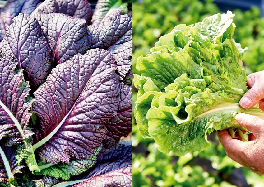 로메인과 다양한 채소 모습