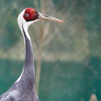 희귀 철새들에게 보금자리를, '재두루미 복원 프로젝트'