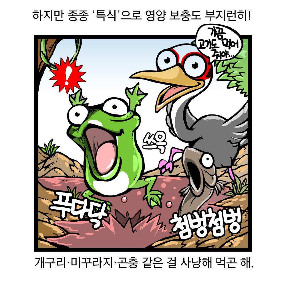 하지만 종종 '특식'으로 영양 보충도 부지런히! 개구리, 미꾸라지, 곤충 같은 걸 사냥해 먹곤 해. 가끔 고기도 먹어줘야. 푸다닥, 쓰윽, 첨벙첨벙