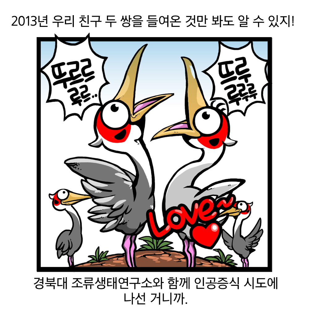 2013년 우리 친구 두 쌍을 들여온 것만 봐도 알 수 있지! 경북대 조류생태연구소와 함께 인공증식 시도에 나선 거니까. 뚜르르루르. 뜨루 루루루 LOVE