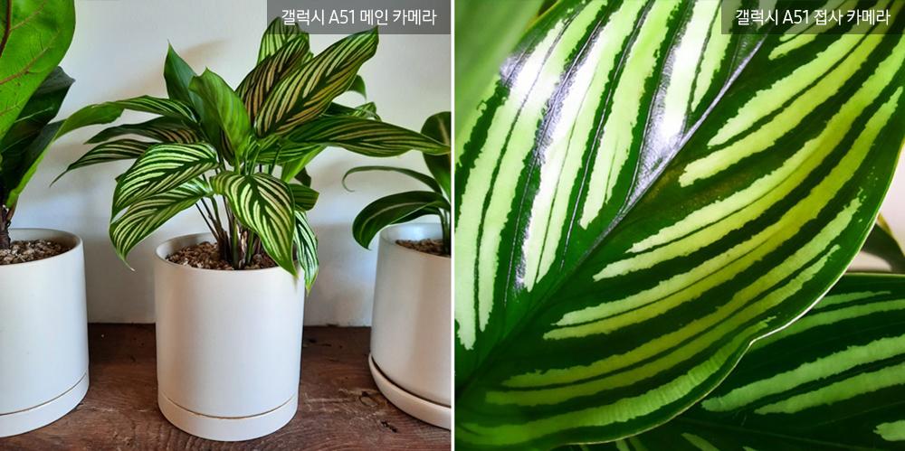 ▲ 화이트 잎맥이 시원하게 뻗은 '칼라데아 비타타'. 붓으로 그려놓은 듯 선명한 빗살무늬와 은은한 광택이 열대 정글을 연상시킨다.