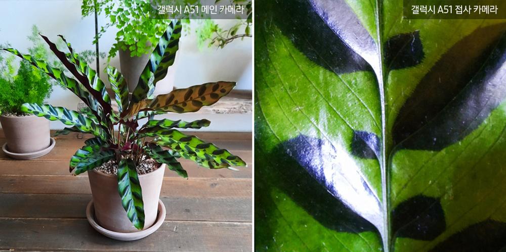 ▲ 잎 앞면 주맥을 축으로 짙은 암갈색 반점이 포인트인 '칼라데이 인시그니스'. 일정하지만 강렬한 무늬가 마치 한 마리의 곤충 같다.