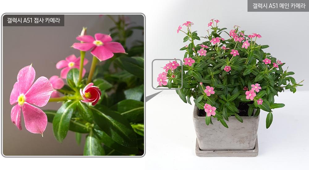 ▲ 꽃잎 선이 선명하고 앙증맞은 핑크빛 '페어리스타'. 작은 꽃봉오리가 기지개를 켜듯 바람개비 모양으로 피어나고 있다.