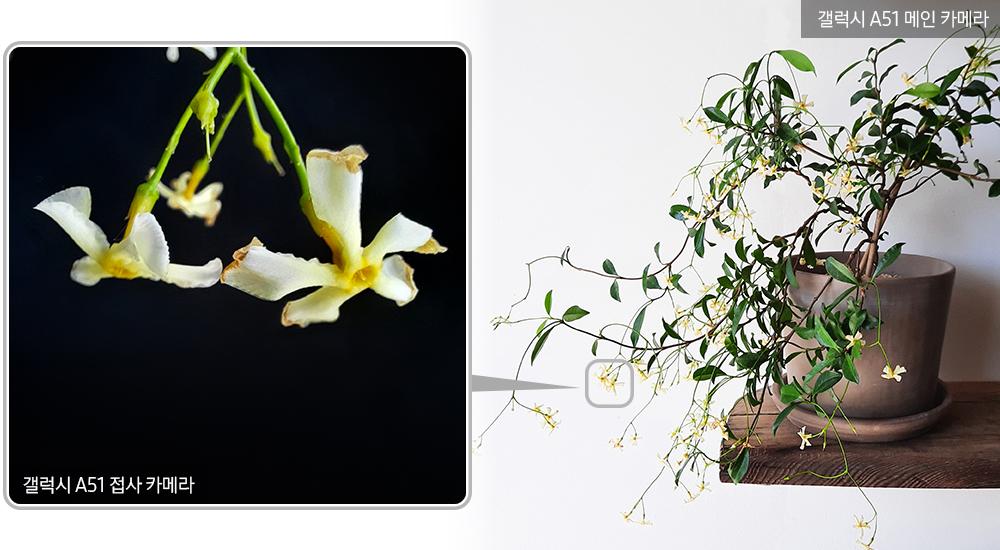 ▲ 잎들이 담장을 타고 자라는 덩굴식물인 '마삭줄'. 보통 무성한 초록잎으로 이루어져 있지만, 5~6월엔 새로 난 햇가지 끝엔 작고 하얀 꽃이 대롱대롱 맺힌다.