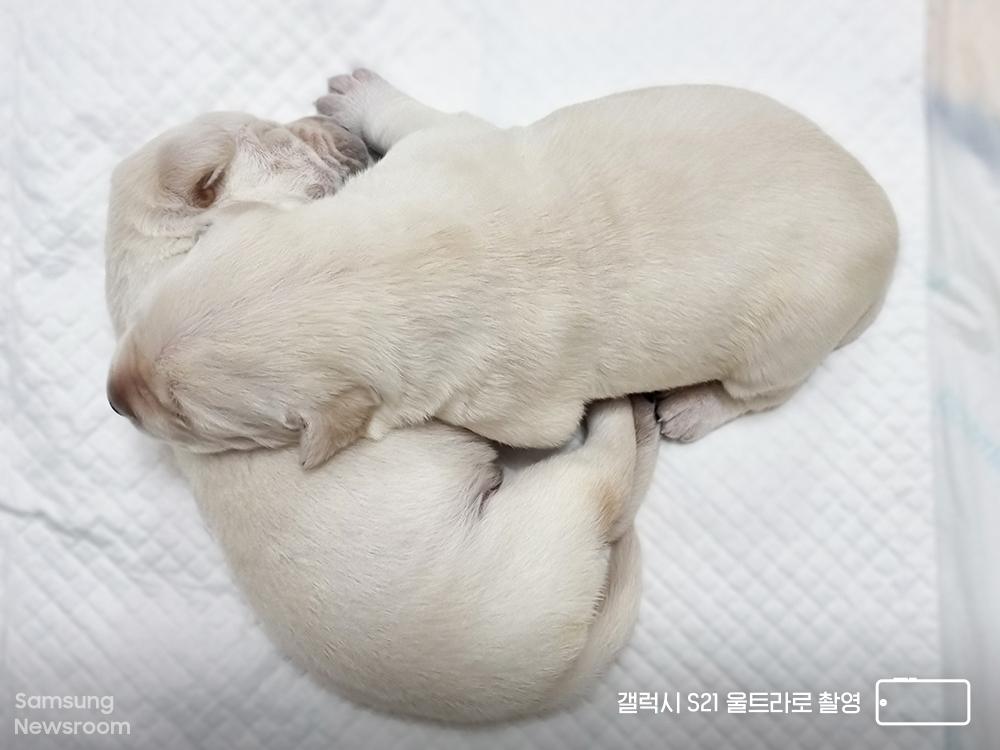 갤럭시 S21 울트라로 촬영한 생후 3주를 갓 넘긴 새끼 안내견 후보들